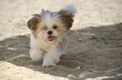 Shih Tzu Puppy - Shih Tzu Dog Breed. Shih Tzu Puppy running on beach - Shih Tzu Dog Breed royalty free stock photos