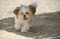 Shih Tzu Puppy - Shih Tzu Dog Breed fotografie stock libere da diritti