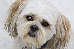 Shih tzu puppy dog eyes. Mature shih tzu with big brown eyes begging for attention royalty free stock images
