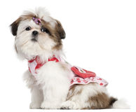 Shih Tzu puppy dressed up, 3 months old, sitting Stock Images