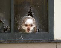 Shih Tzu Puppy Escapes Through Screen Royalty Free Stock Photography