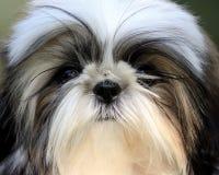 Shih Tzu puppy face stock photos