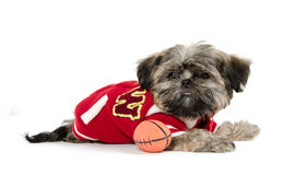 Shih Tzu puppy with football Royalty Free Stock Photos