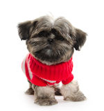 Shih Tzu puppy with football Stock Image