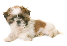 Shih tzu puppy. In front of white background royalty free stock image