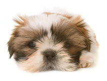 Shih tzu puppy. In front of white background Stock Images