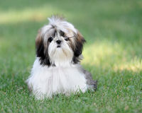 Shih Tzu puppy in grass Royalty Free Stock Photography