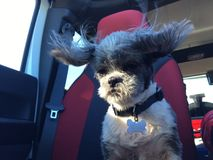 Shih tzu puppy with her ears blowing in the wind. Shih tzu puppy with her hair and ears blowing in the wind while riding in a car Royalty Free Stock Photography