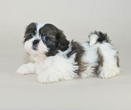 Shih-Tzu Puppy Stock Photography