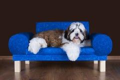 Shih tzu puppy lying on the sofa Royalty Free Stock Image