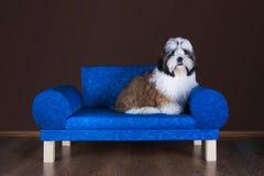 Shih tzu puppy lying on the sofa Royalty Free Stock Photo
