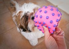 Shih-tzu puppy playing ball. Shih tzu 3 months old dog plays with pink rubber ball stock photos