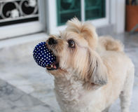 Shih Tzu puppy playing blue ball Royalty Free Stock Images