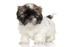 Shih Tzu puppy portrait Royalty Free Stock Photos