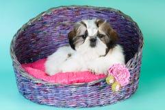 Shih tzu puppy portrait at studio stock photography
