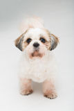 Shih tzu puppy posing on white background. Studio portrait of the dog royalty free stock image