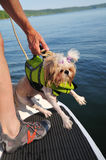Shih Tzu Puppy Rescue Stock Photos