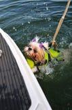 Shih Tzu Puppy Rescue Royalty Free Stock Image