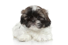 Shih Tzu puppy resting Stock Images