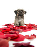 Shih tzu puppy with rose petals. Cute shih tzu puppy with red rose pedals on white background Stock Photography