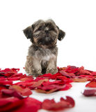 Shih tzu puppy with rose petals. Cute shih tzu puppy with red rose pedals on white background Stock Photo