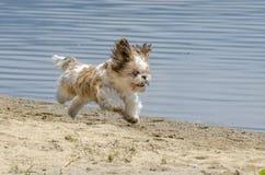 Shih Tzu Puppy running on beach. Shih Tzu Dog Breed - Shih Tzu Puppy running on beach royalty free stock photos