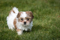 Shih Tzu Puppy. Running on Grass royalty free stock images