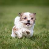 Shih Tzu Puppy stock photography