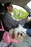 Shih Tzu Puppy In A Safety Harness. Puppy In A Safety Harness riding in a truck on the way to the veterinarian Stock Image
