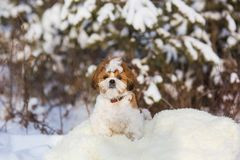Shih Tzu puppy. For a walk in the winter forest stock photo