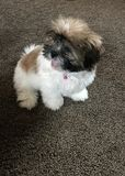 Shih Tzu Puppy Stock Images
