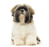 Shih Tzu puppy sitting, facing, isolated Stock Images