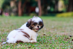 Shih Tzu puppy sitting on green grass. In the park royalty free stock photos