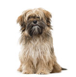 Shih Tzu puppy sitting and staring isolated on white. 6 months old Shih Tzu puppy sitting and staring isolated on white Stock Image
