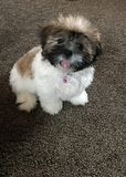 Shih Tzu Puppy Stock Photo