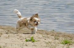 Shih Tzu Puppy sulla sabbia fotografia stock