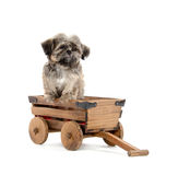 Shih tzu puppy in wagon Stock Images