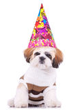 Shih tzu puppy wearing a party hat Royalty Free Stock Photography