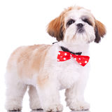 Shih tzu puppy, wearing a red neck bow. Curious little shih tzu puppy, wearing a red neck bow, staning on white background royalty free stock images