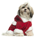Shih Tzu puppy wearing Santa outfit Royalty Free Stock Photo