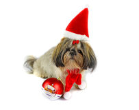 Shih Tzu puppy wearing Santa outfit Stock Photography