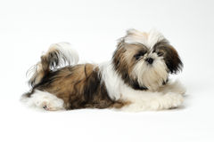 Shih Tzu puppy on white background Stock Photo