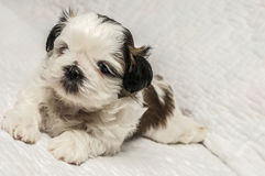 Shih tzu puppy. Young shih tzu pup sitting on white blanket stock images