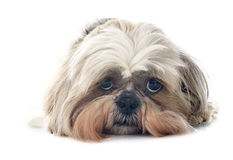 Shih Tzu. Purebred Shih Tzu in front of white background Royalty Free Stock Image