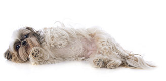 Shih Tzu. Purebred Shih Tzu in front of white background Stock Images
