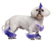 Shih Tzu with purple mohawk, 2 years old Royalty Free Stock Image
