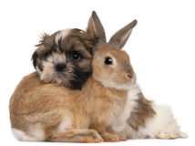 Shih-Tzu and rabbit. In front of white background stock images