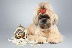 Shih tzu with red bow and with accessories Stock Image