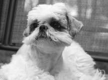 Shih Tzu. The Relaxing Dog in a backyard on swing royalty free stock photos