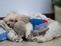 Shih tzu retriever puppy sleeping with old toy on the bed. Stock Image